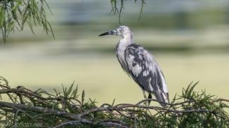 Rare Leucism Little Blue Heron - Click To Enlarge