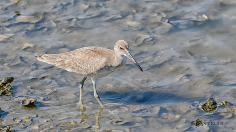 Willet In An Oyster Bed - Click To Enlarge