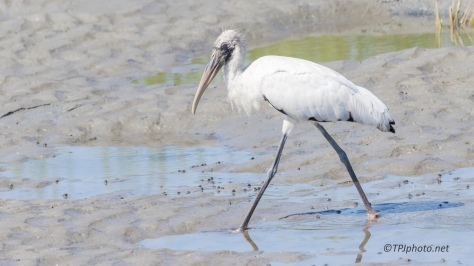 Wood Stork, Juvenile - Click To Enlarge