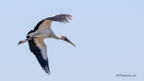 Wood Stork Flying In - Click To Enlarge