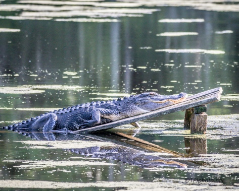 Alligator Reflections - Click To Enlarge