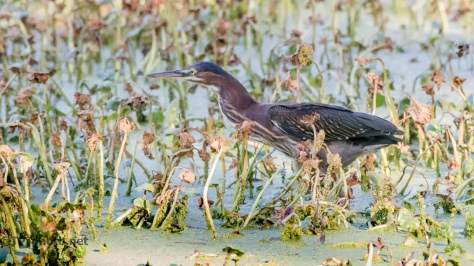 Stealthy Green Heron - Click To Enlarge