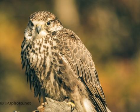 Endangered Saker Falcon - Click To Enlarge