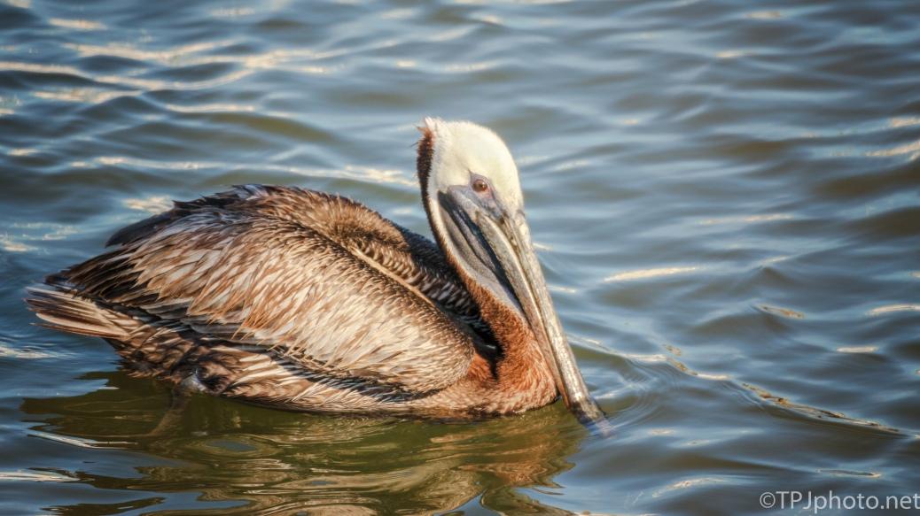 Pelican Portrait - Click To Enlarge
