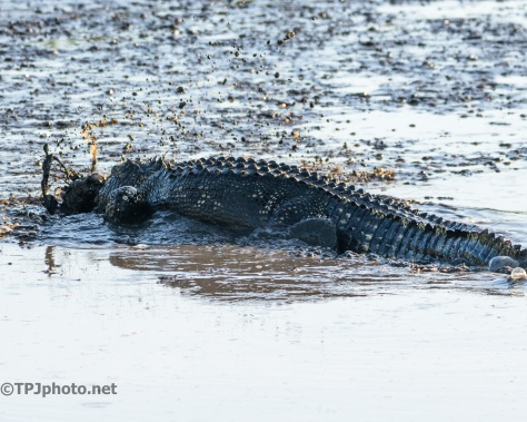 Faster Than You Think, Alligator - Click To Enlarge