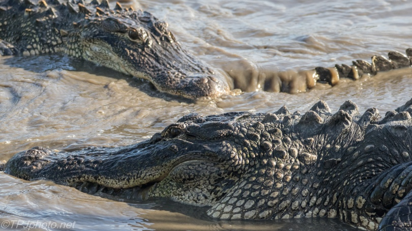 Gathering Of Alligators - Click To Enlarge