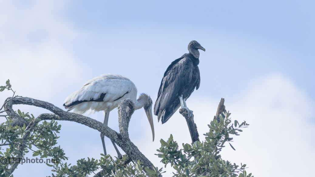 Cousins, Wood Stork And Black Vulture - Click To Enlarge