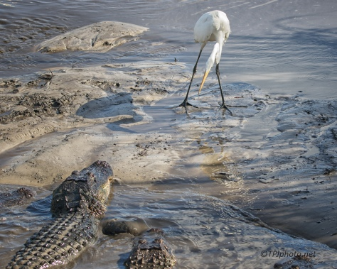 Stand Off, Alligators And Egret - Click To Enlarge