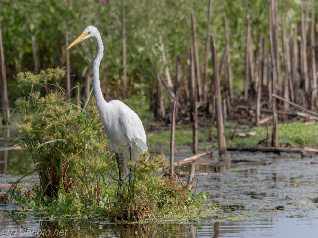 Great Egret, Marsh - Click To Enlarge