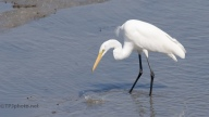 Great Egret Fishing - Click To Enlarge