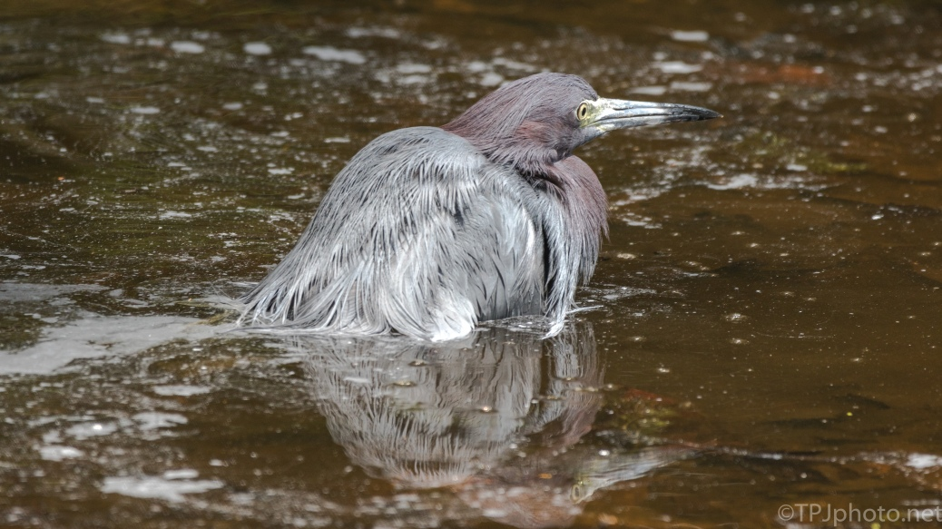 Swimming In The Deep, Little Blue Heron - Click To Enlarge