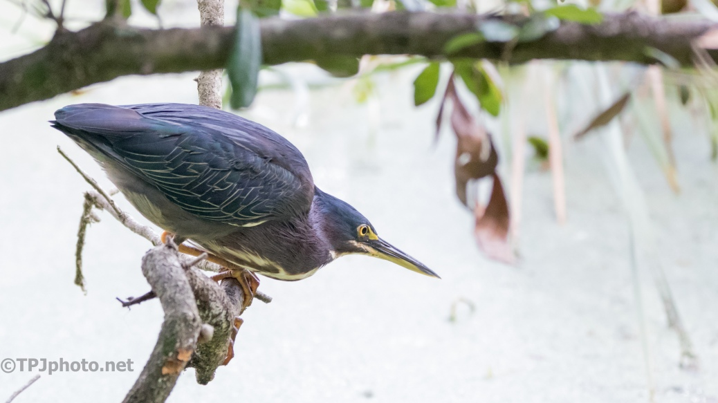 On Bended Knee, Green Heron - Click To Enlarge