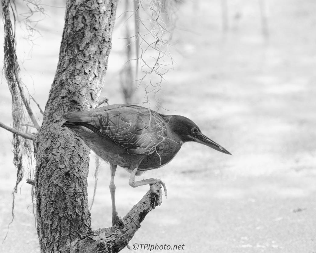 Green heron In Black And White - Click To Enlarge