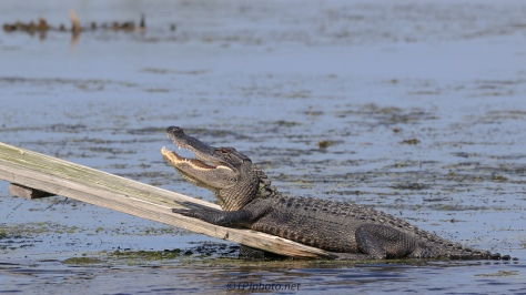 Rice Field Alligator - Click To Enlarge