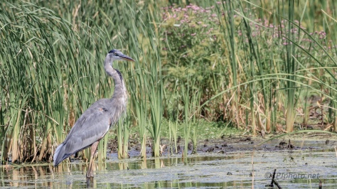 Great Blue Heron, Wading In A Marsh - Click To Enlarge