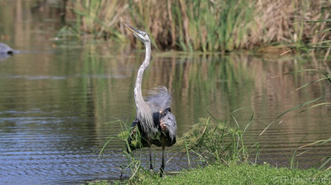 Territory Claim, Great Blue Heron - Click To Enlarge