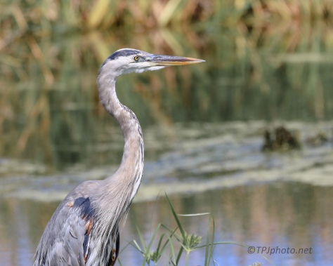 Great Blue Heron, Cooperating - Click To Enlarge