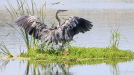 Full Wing Span, Great Blue Heron - Click To Enlarge