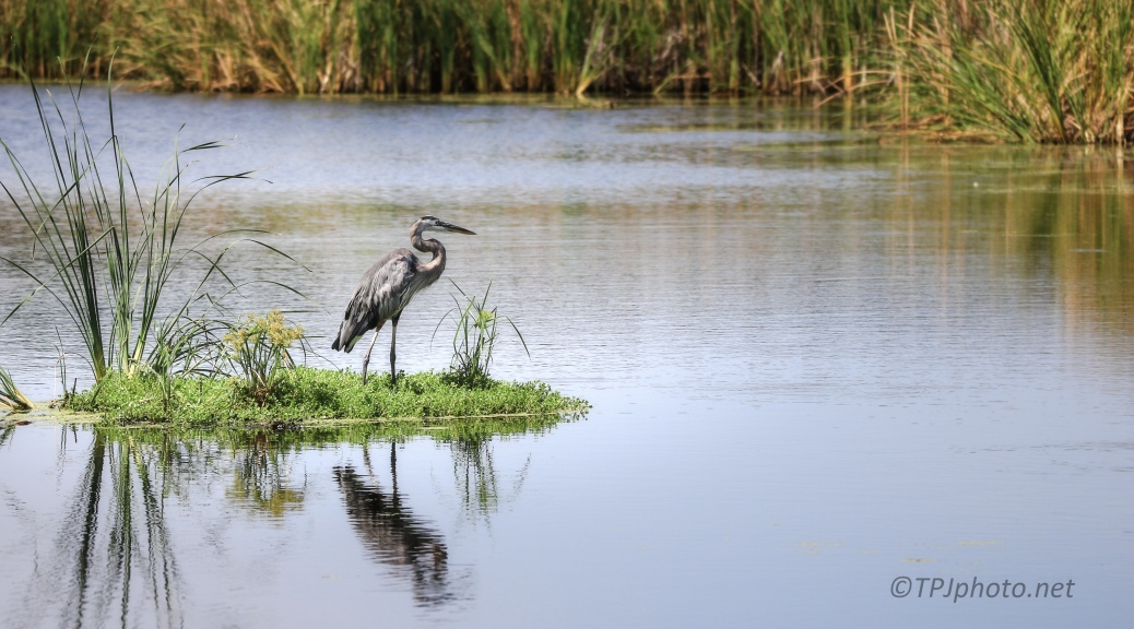Great Blue Heron, Floating Island - Click To Enlarge