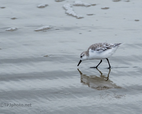 Little Sanderling - Click To Enlarge