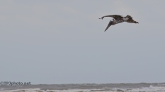 Pelican's And Hurricane Irma - Click To Enlarge