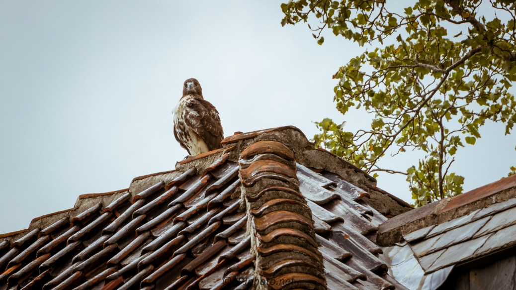 City Bird, Red-tailed Hawk - Click To Enlarge