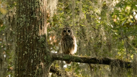 Barred Owl In His Usual Pose - Click To Enlarge