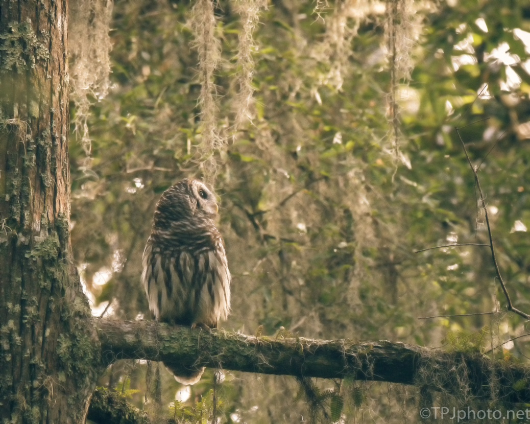 Golden Barred Owl - Click To Enlarge