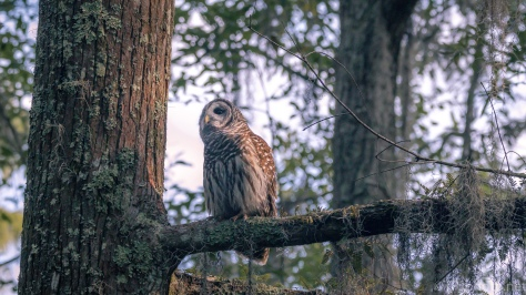 Barred Owl, Getting Sun - Click To Enlarge