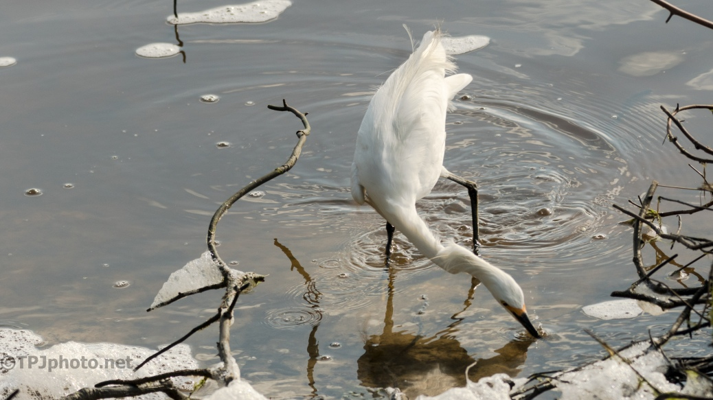 Snowy Egret At The Trunk - Click To Enlarge