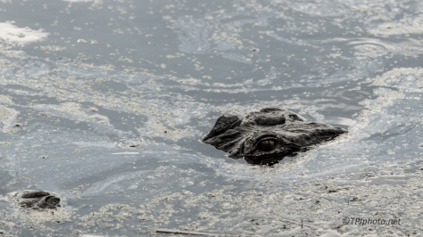 How Big Is Big, Alligator - Click To Enlarger