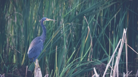 Matte Finish Tricolored Heron - Click To Enlarge