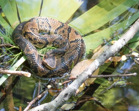 Cottonmouth - Click To Enlarge