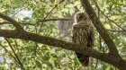 Barred Owl, Forest - Click To Enlarge