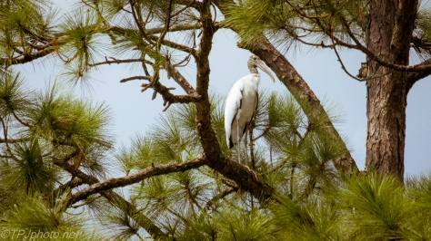 Wood Stork Up In A Pine - Click To Enlarge
