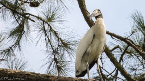 Wood Stork Watching Us - Click To Enlarge