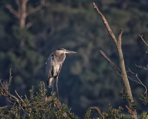 Away From Everything, Great Blue Heron - Click To Enlarge