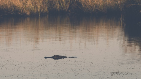 Alligators - Click To Enlarge