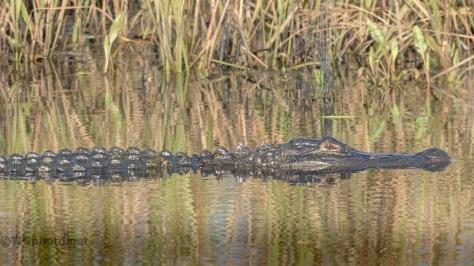 Alligators - Click To Enlarge