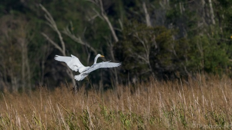 Egret Landing In The Reeds - Click To Enlarge
