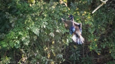 Sudden Departure, Wood Duck - Click To Enlarge