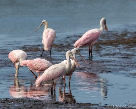 Flock Of Roseate Spoonbills - Click To Enlarge