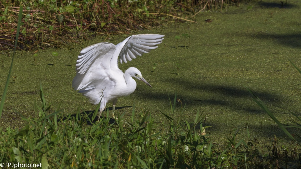 Tip Toe Through The Muck, Egret - Click To Enlarge