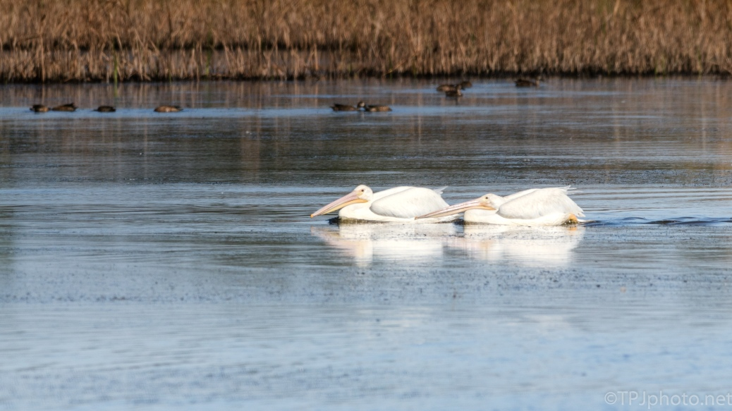 Visitors, White Pelicans - click to enlarge