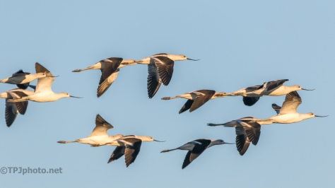 American Avocet In Flight - click to enlarge