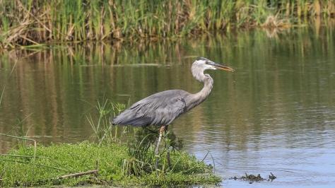 Great Blue Heron In Marsh - Click To Enlarge