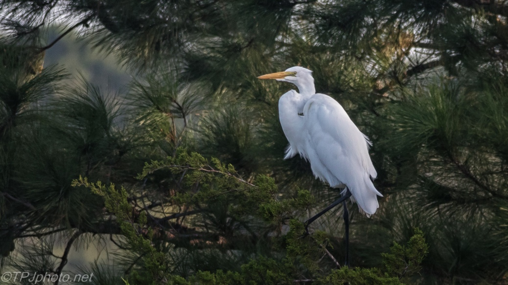 Great Egret In A Pine - Click To Enlarge