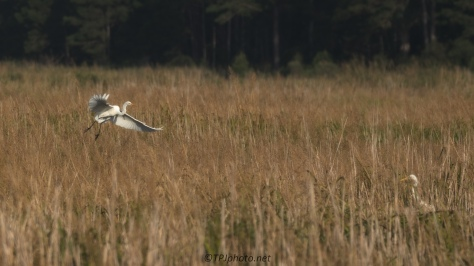 Disappearing Into The Reeds, Great Egret - Click To Enlarge