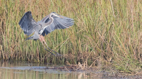 Perfect Landing, Great Blue Heron - Click To Enlarge