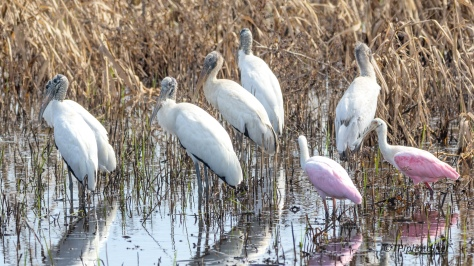 Wood Storks And Spoonbills, Getting Along - click to enlarge